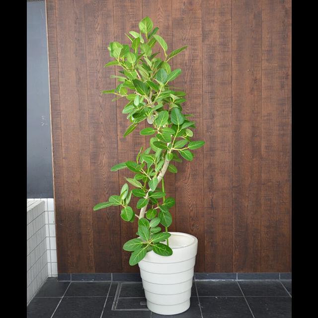 【配達無料】観葉植物 フィカス・ベンガレンシス