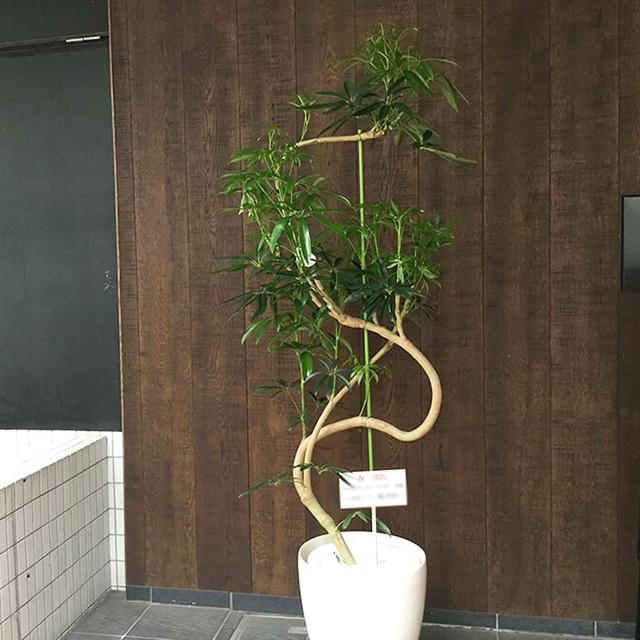 【配達無料】観葉植物 シェフレラ(カポック)
