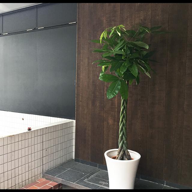 【配達無料】観葉植物 パキラ