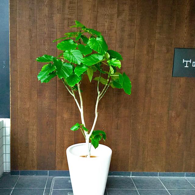 【配達無料】観葉植物 ウンベラータ