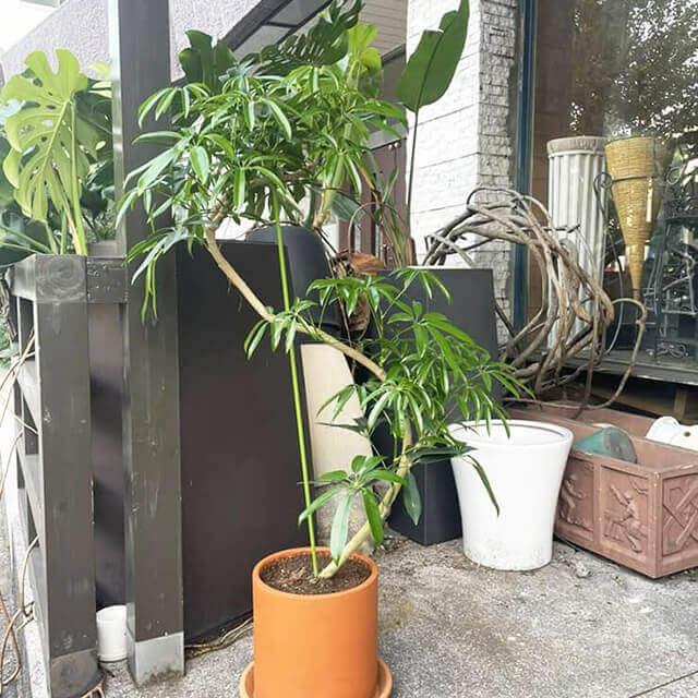 【配達無料】観葉植物 シェフレラ カポック(朴曲がり・S字)