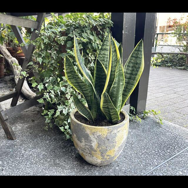 【配達無料】観葉植物 サンスベリア(トラノオ)