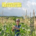 【2019販売終了!】朝どれ 元祖 メロンより甘い 八ヶ岳生とうもろこし 2019年
