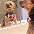 Doggie Design(ドギーデザイン)American River Ultra Choke Free Dog Harness Tuxedo
