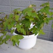 野ぶどう鉢植え