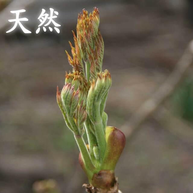 【天然】朝採り 山形県産 山菜 たらの芽 100g