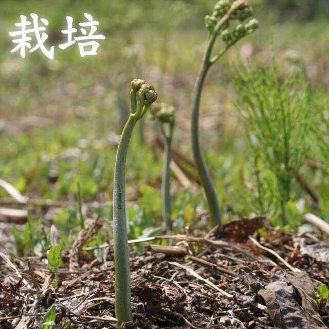 【栽培】朝採り 山形県産 山菜 わらび 1kg