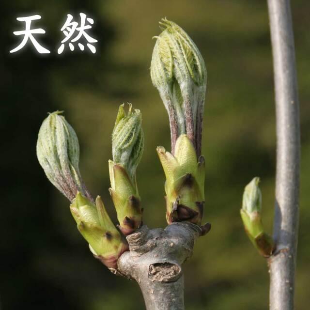 【天然】朝採り 山形県産 山菜 こしあぶら 100g