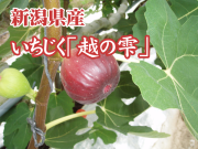 新潟県産 越の雫