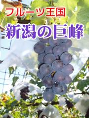 新潟県産 巨峰