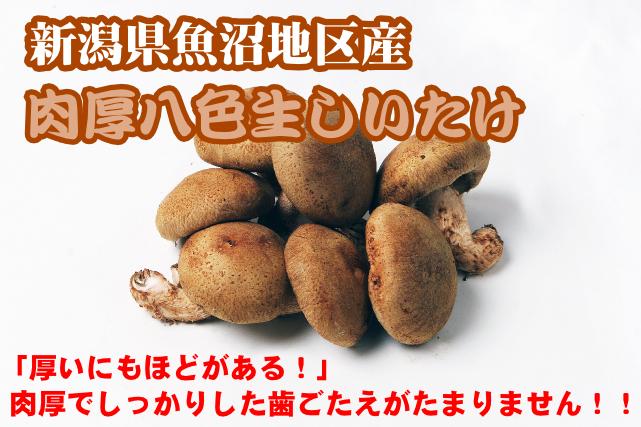 新潟県魚沼地区産 肉厚八色生しいたけ