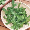 (タキイ種苗)菊之助 新菊 春菊 25ml