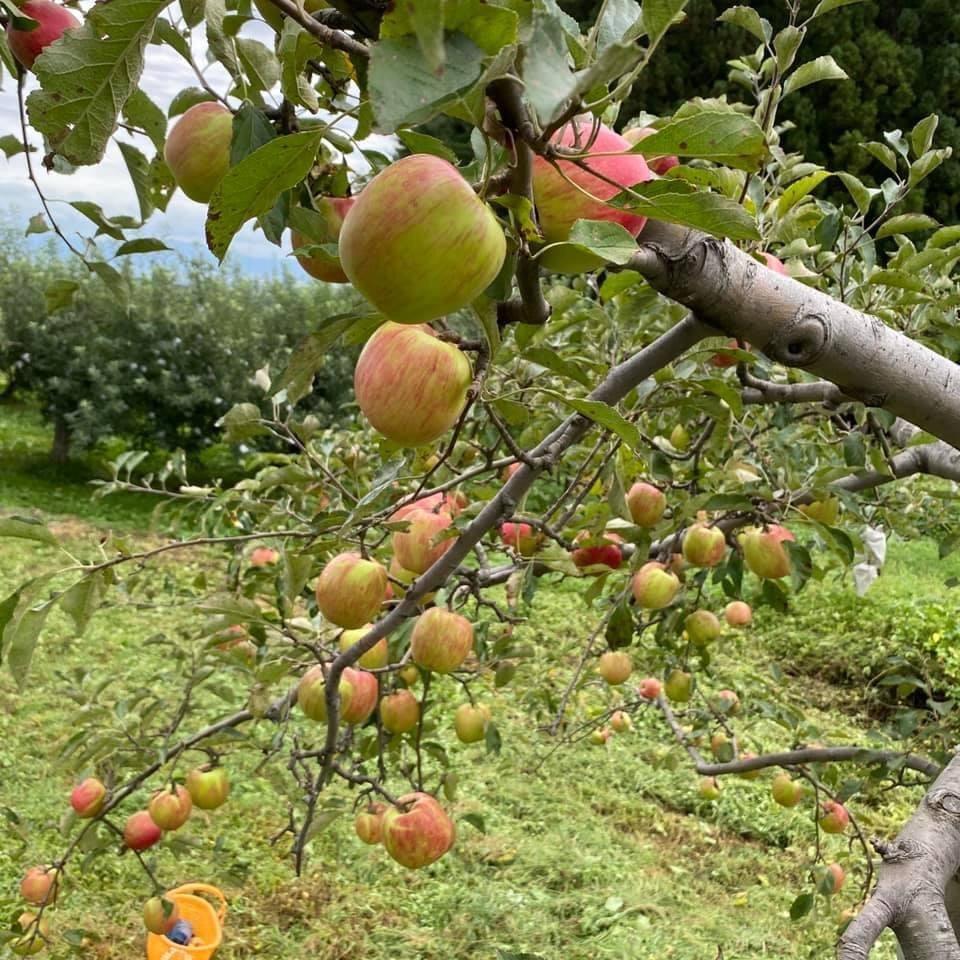 9月上旬色づき始めたりんごたち