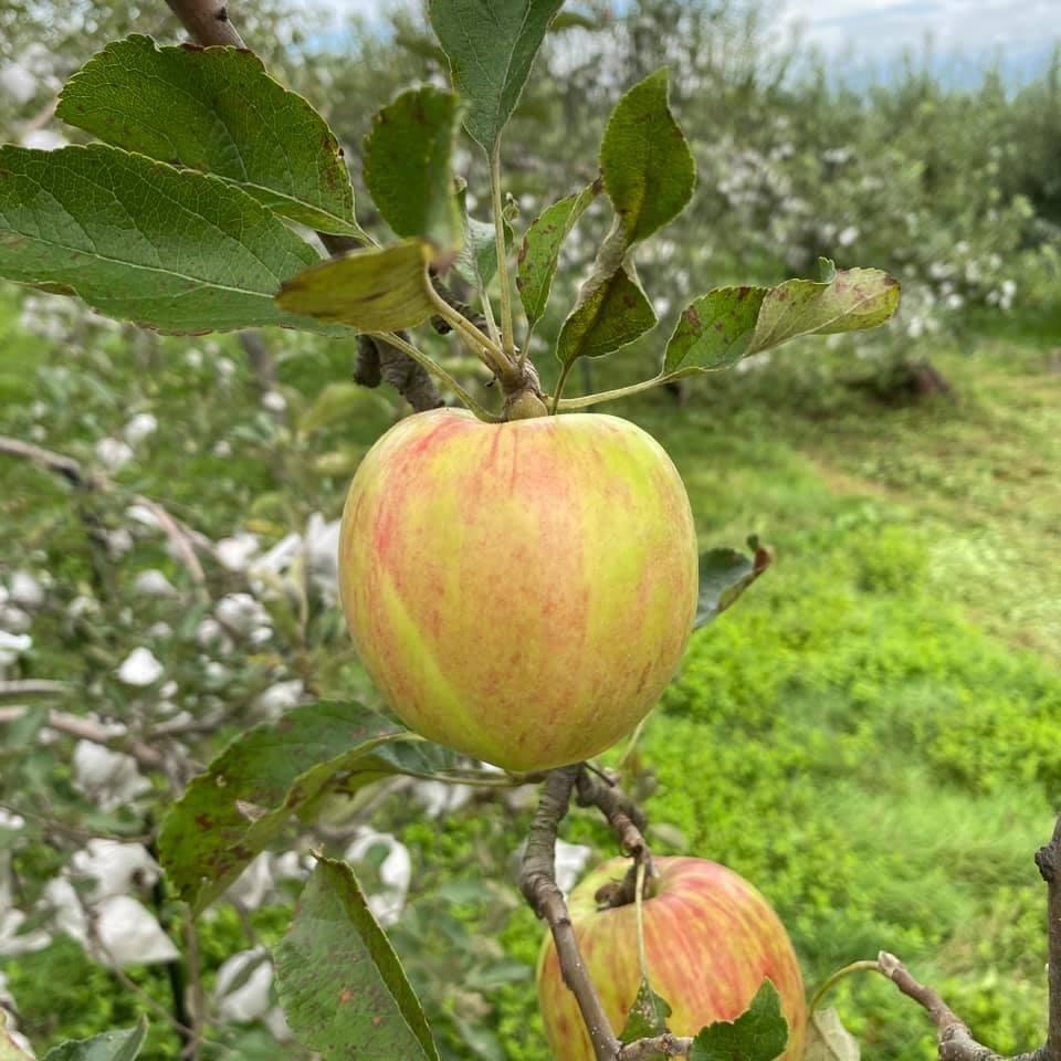9月上旬の色づき始めりんご