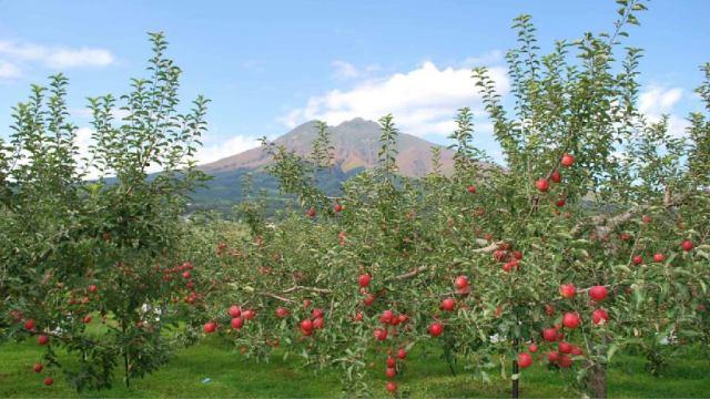 リンゴ イメージ2