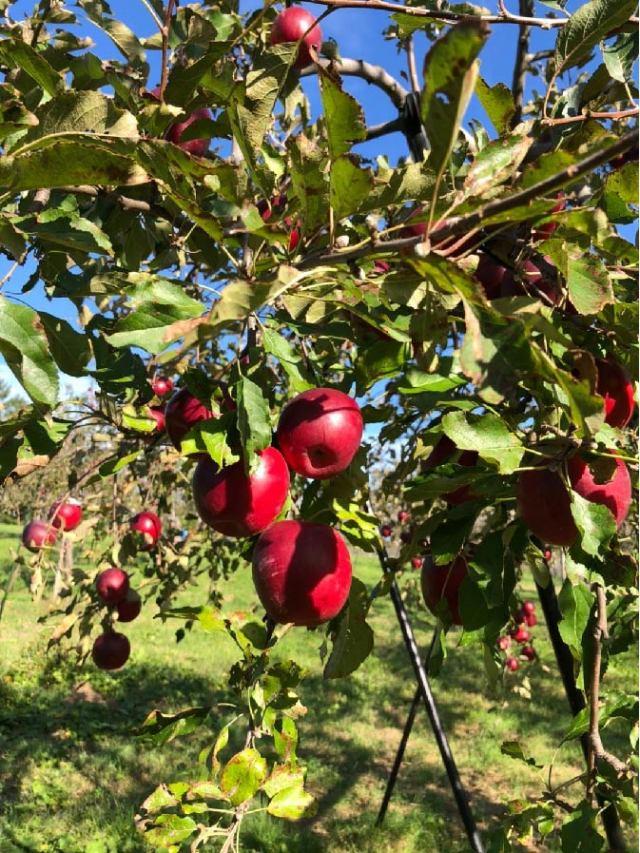 リンゴ イメージ3