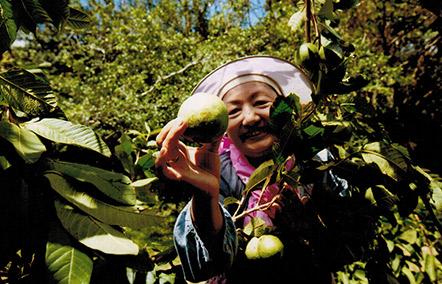 福留果樹園島みかん収穫