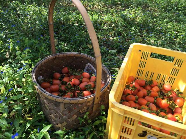 鶴の子柿の収穫