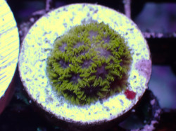 US便Reef2Reef blueberry fields laptastrea Frag(No.01)