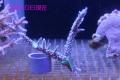 【Coral de Sakieda G&G】Acropora intermedia(シリアルNo.00119)