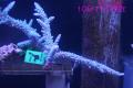 【Coral de Sakieda G&G】Acropora intermedia(シリアルNo.00141)