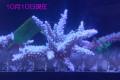 【Coral de Sakieda G&G】Acropora intermedia(シリアルNo.00152)