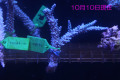 【Coral de Sakieda G&G】Acropora intermedia(シリアルNo.00153)