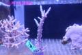 【Coral de Sakieda G&G】Acropora intermedia(シリアルNo.00156)