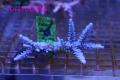 【Coral de Sakieda G&G】Acropora intermedia(シリアルNo.00162)