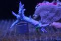 【Coral de Sakieda G&G】Acropora intermedia(シリアルNo.00179)