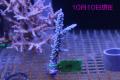 【Coral de Sakieda G&G】Acropora intermedia(シリアルNo.00191)