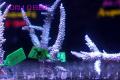 【Coral de Sakieda G&G】Acropora intermedia(シリアルNo.00198)