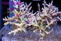 【Coral de Sakieda G&G】Acropora divaricata(シリアルNo.00238)