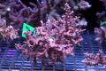 【Coral de Sakieda G&G】Acropora divaricata(シリアルNo.00136)