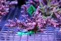 【Coral de Sakieda G&G】Acropora divaricata(シリアルNo.00245)