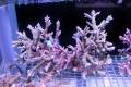 【Coral de Sakieda G&G】Acropora divaricata(シリアルNo.00138)