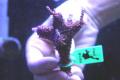 【Coral de Sakieda G&G】Acropora intermedia(シリアルNo.00192)