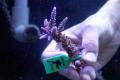 【Coral de Sakieda G&G】Acropora intermedia(シリアルNo.00126)