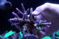 【Coral de Sakieda G&G】Acropora intermedia(シリアルNo.00261)