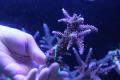 【Coral de Sakieda G&G】Acropora intermedia(シリアルNo.00130)