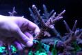 【Coral de Sakieda G&G】Acropora intermedia(シリアルNo.00163)