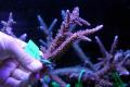 【Coral de Sakieda G&G】Acropora intermedia(シリアルNo.00169)