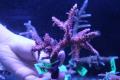 【Coral de Sakieda G&G】Acropora intermedia(シリアルNo.00132)