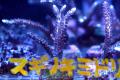 【琉球ブリード】スギノキミドリイシ(No.06)