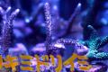 【琉球ブリード】スギノキミドリイシ(No.07)