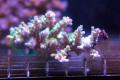 【Coral de Sakieda G&G】Acropora tenuis ウスエダミドリイシ(シリアルNo.00257)