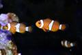 海外産ブリード カクレクマノミ 2匹