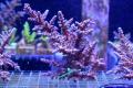 【Coral de Sakieda G&G】ツツ系ミドリイシ(シリアルNo.00289)