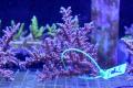 【Coral de Sakieda G&G】ツツ系ミドリイシ(シリアルNo.02079)