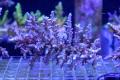 【Coral de Sakieda G&G】ツツ系ミドリイシ(シリアルNo.00270)